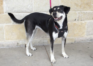 Lucy, available for adoption at Frisco Humane Society. (Courtesy Frisco Humane Society)